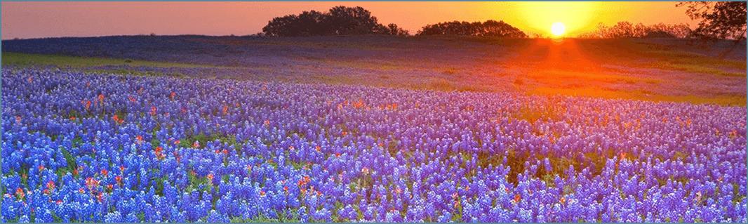 Texas Field of Flowers